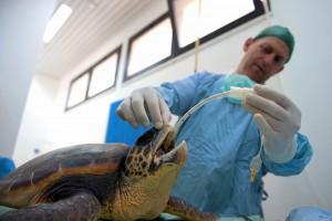 Le vétérinaire du centre intube la tortue le temps de l'opération étant donné qu'elle est anestésiée © Philippe Henry / Octopus Foundation