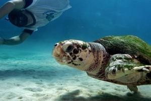 Une tortue soignée par le centre médical qui fait sa promenade hebdomadaire © Philippe Henry / Octopus Foundation