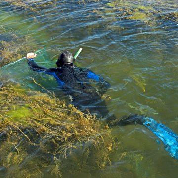 La mission conjointe Peau-Bleue / Fondation Octopus a notamment permis de tester l'utilisation des haveneaux en plongée libre et en apnée. © Octopus Foundation