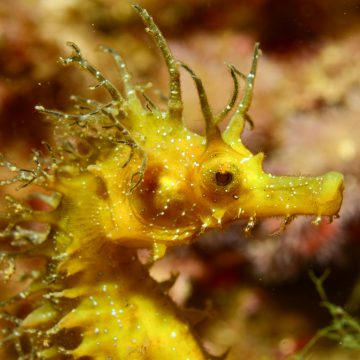 This is a member of the marine species of long-snouted seahorses of the Mediterranean © LOUISY Patrick