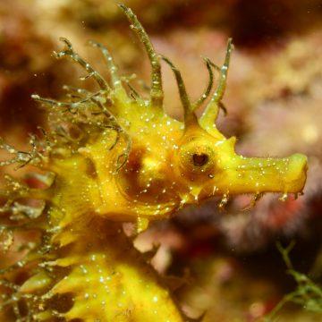 Ce spécimen est un représentant de la forme marine méditerranéenne de l'hippocampe moucheté (Hippocampus guttulatus) © LOUISY Patrick