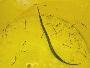 Ce mâle de syngnathe nageur de 16 cm a accouché dans le seau, juste après sa capture. Il a donné naissance à 24 bébés longs de 26 à 28 mm (qui ont été immédiatement remis à l'eau sur le lieu de capture). © LOUISY Patrick