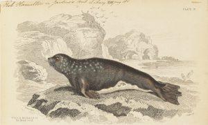 Iconographie zoologique d'un Leptonyx monachus, datée entre 1700-1880 © Université d'Amsterdam