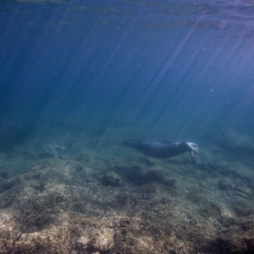 A swimming monk seal © Octopus Foundation / Philippe Henry