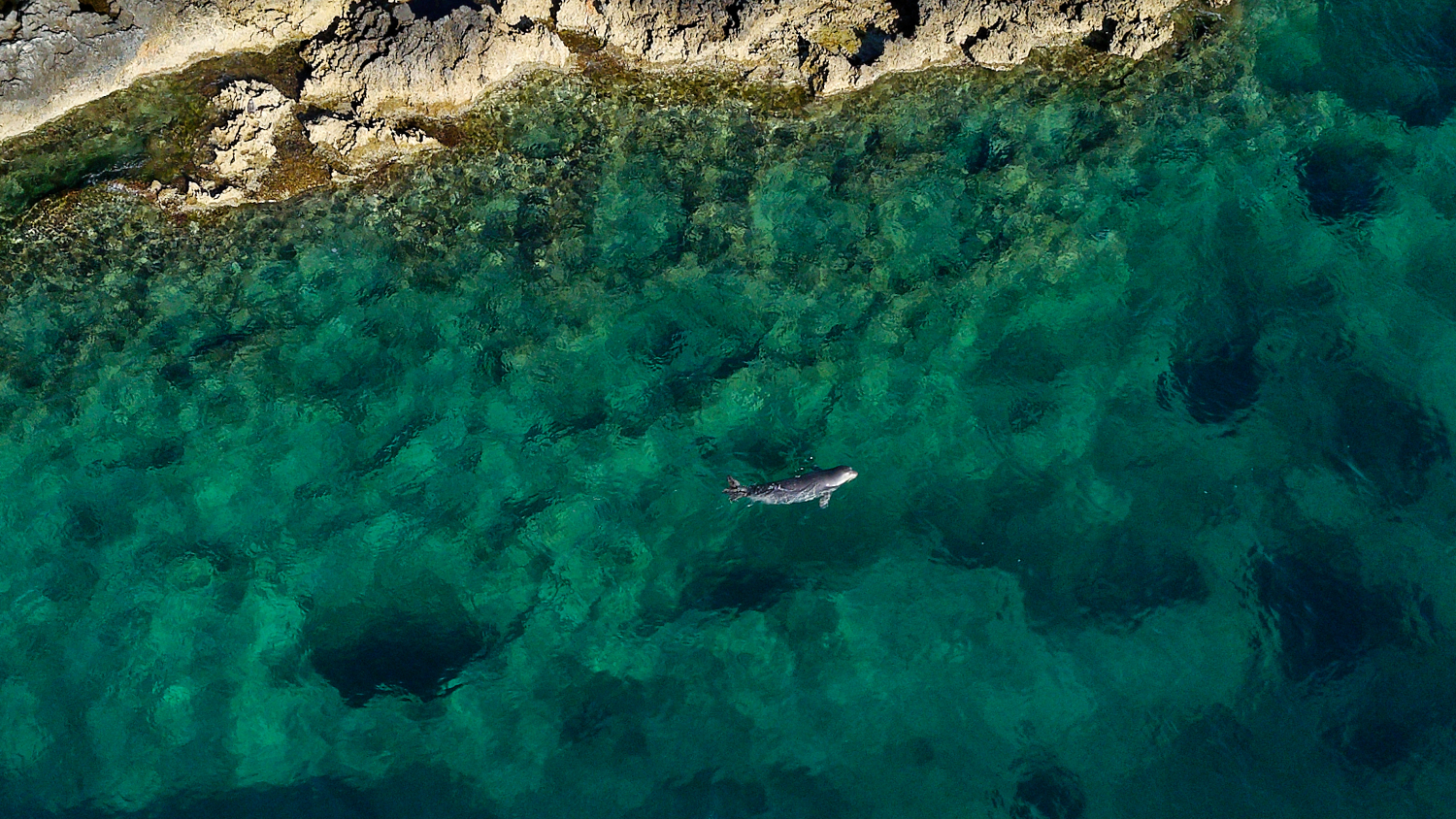 Aerial drones are useful to spot and follow monk seals, without disturbing them © Octopus Foundation