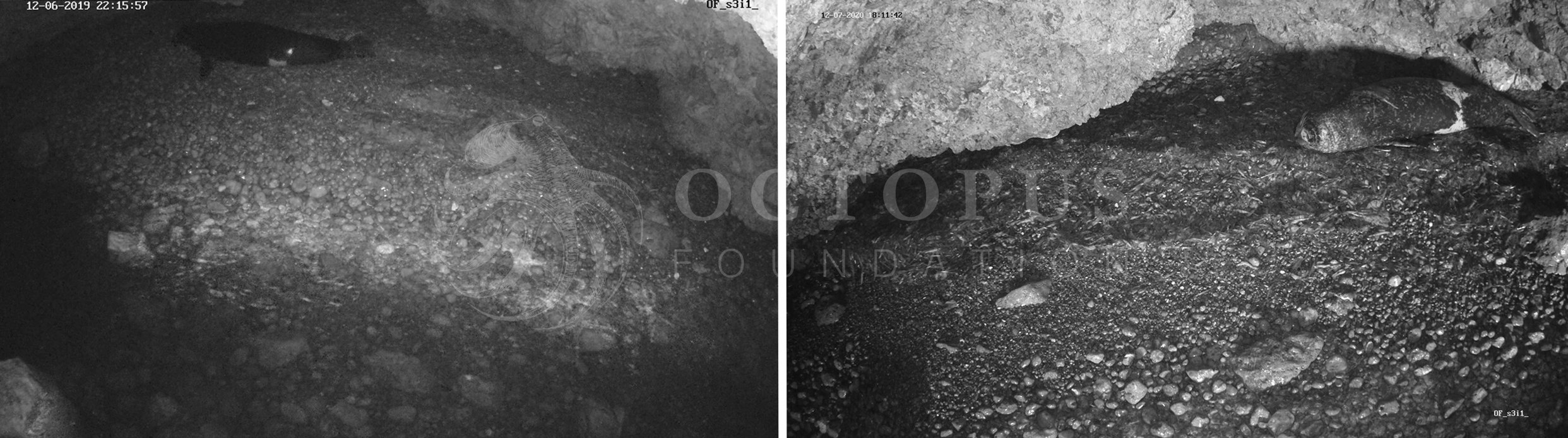 Les deux images montrent l'intérieur de la même grotte (à gauche en 2019 et à droite en 2020. Après une saison en plan large, nous avons compris où les phoques s'installaient systématiquement sur la plage. En déplaçant la caméra nous espérons pouvoir mieux identifier les animaux, ici le même mâle de plus de 200 kilos © Fondation Octopus