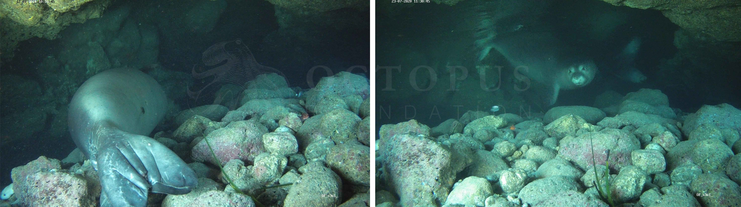 A few hours after the set up of the underwater camera, such photos were remotely sent to our server © Octopus Foundation