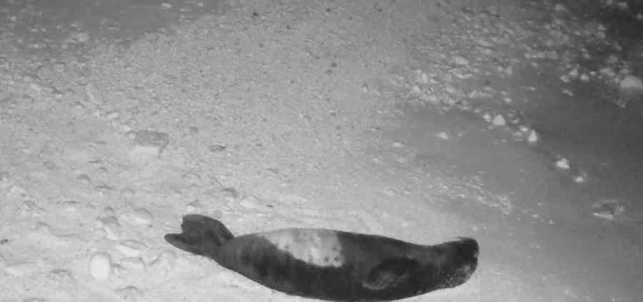 Sieste bien méritée pour ce bébé phoque moine de Méditerranée © Octopus Foundation 2020