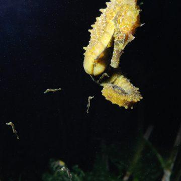 Ce mâle d'hippocampe moucheté (Hippocampus guttulatus) de la lagune de Thau vient de mettre bas. Les nouveau-nés mesurent 12 mm de hauteur, queue déroulée. © LOUISY Patrick