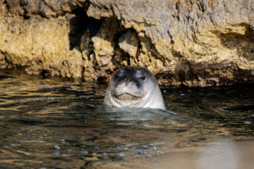 Once plentiful, Mediterranean monk seals are now endangered and hide in sea caves © Octopus Foundation / Philippe Henry