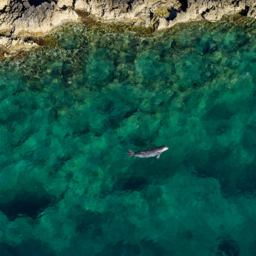 Aerial drones are useful to spot and follow monk seals, without disturbing them © Octopus Foundation / Andy Guinand