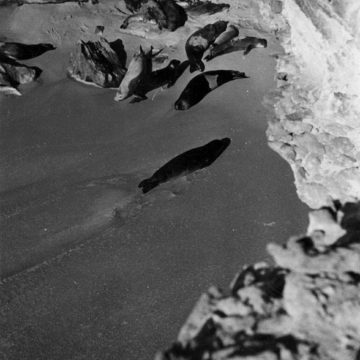 On the Cabo Blanco peninsula, in Mauritania, a large colony of monk seals could be observed. Today, a small colony is still present. © Eugenio Morales Agacino's Photographic Archive